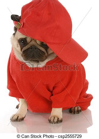 wearing pug shirt stock photographs of adorable pug wearing shirt and sports cap csp2555729 search