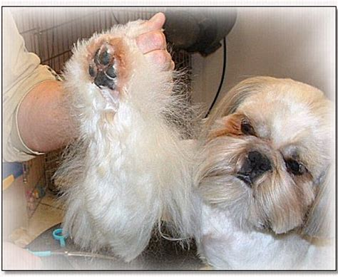 should you shave a shih poo beard or leave it long shih tzu cut down by doggie bow ties