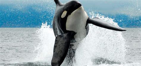 imagenes sorprendentes de ballenas la ballena informaci 243 n peso tama 241 o qu 233 comen y tipos