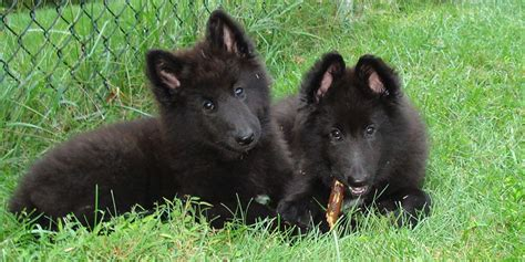 groenendael puppies belgian shepherd groenendael puppies www imgkid the image kid has it