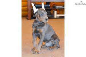 doberman pinscher colors doberman pinscher blue color www imgkid the image