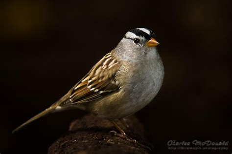 Sparrow River white crowned sparrow river valley edmonton alberta