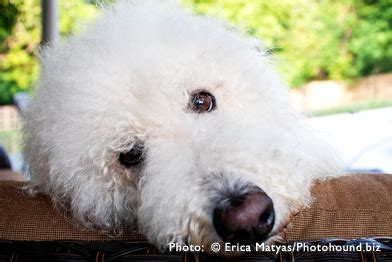 Labradoodle Do They Shed by Labradoodle Shedding Do Labradoodles Shed