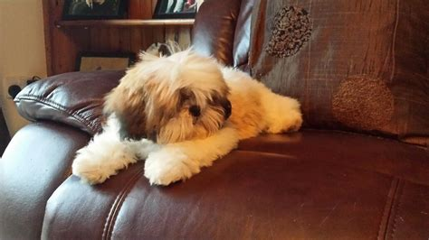 gold shih tzu puppies golden white shih tzu puppy coalville leicestershire pets4homes