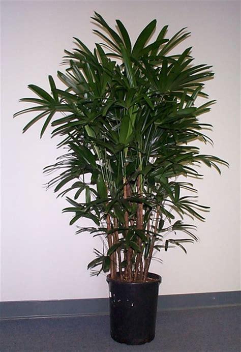 common house plant palm tree rhapis excelsa botanical name rhapis excelsa common name