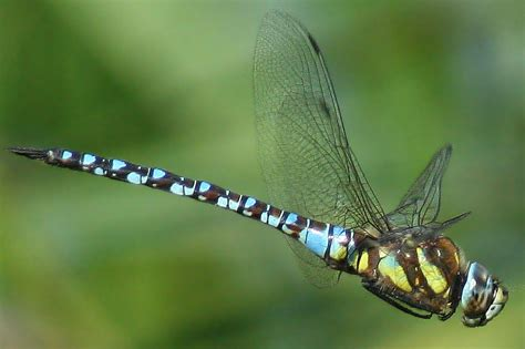 dragonfly migration tracking how dragonflies head south