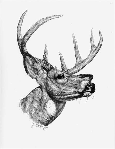 Illinois Whitetail Services, LLC - Pencil Drawing Gallery Whitetail Buck Drawings