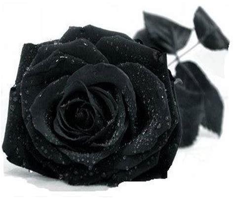 black flower natural black flowers xcitefun net
