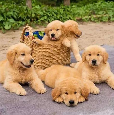 why is my golden retriever puppy so hyper best 25 golden retrievers ideas on golden retriever puppies retriever