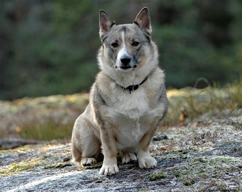 swedish breeds swedish vallhund puppies rescue pictures information temperament