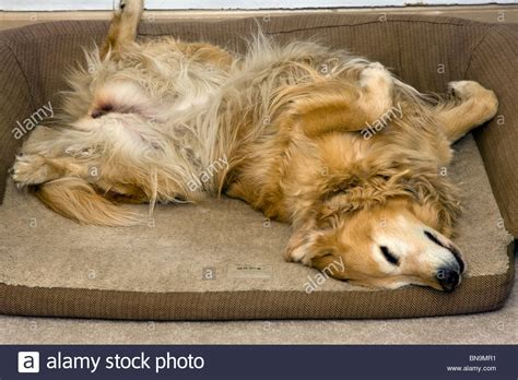 puppy sleeping on back golden retriever sleeping on back in orvis bed stock photo royalty