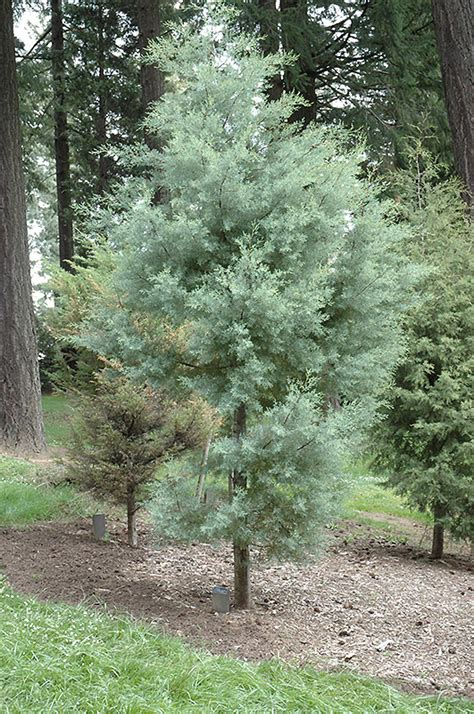 What Is My Gardening Zone - paiute cypress cupressus arizonica var nevadensis in raleigh chapel hill durham apex holly