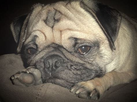 pug falling asleep 17 best images about i pugs on at work tiny puppies and to find out