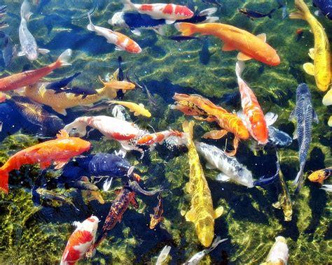 Bibit Ikan Koi Jakarta ikan koi bagian 1 sekelumit kisah cinta