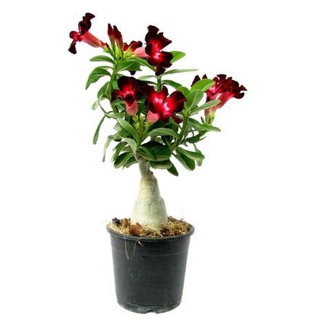 buy adenium velvet dream flower plant  india