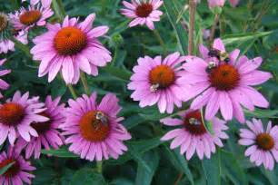 echinacea purpurea rubinstern the scott arboretum s