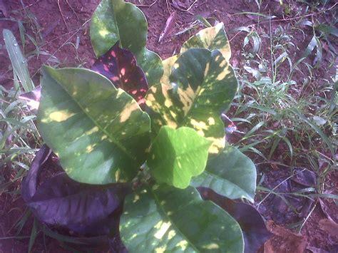 jual tanaman puring oscar tukang taman