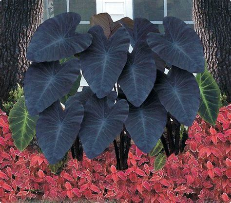 elephant ears garden ideas pinterest