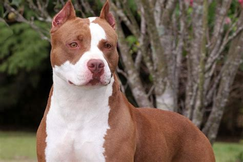 The American pit bull terrier, everything you need to know ...