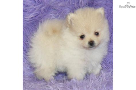 pomeranian near me pomeranian puppy for sale near springfield missouri bc246544 43a1