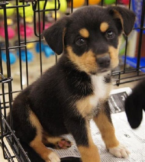german shepherd beagle mix puppies 25 best ideas about puppies for sale on teacup dogs teacup puppies
