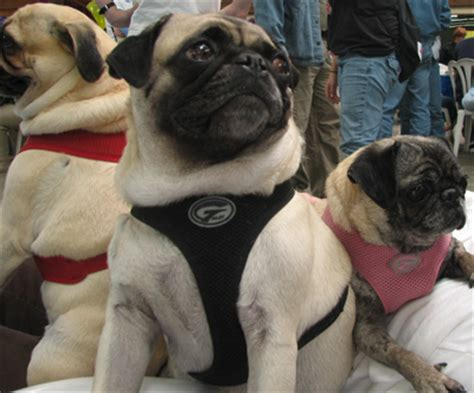 pug harness new harnesses the pug