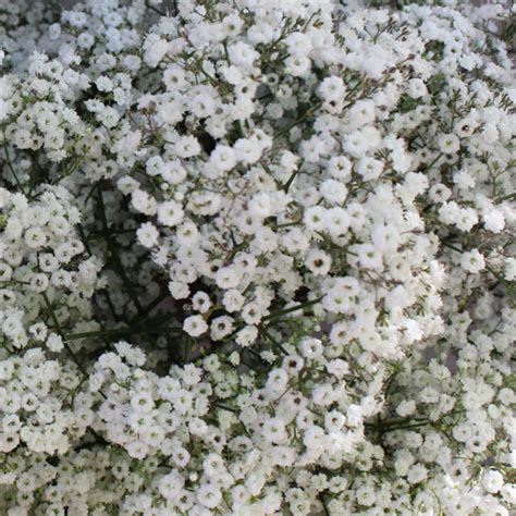 baby s breath flower pictures digital hd photos