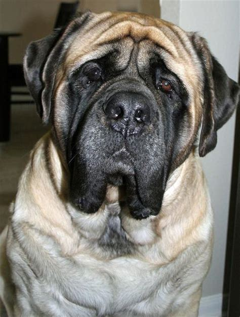gus dogs gus the mastiff dogs daily puppy