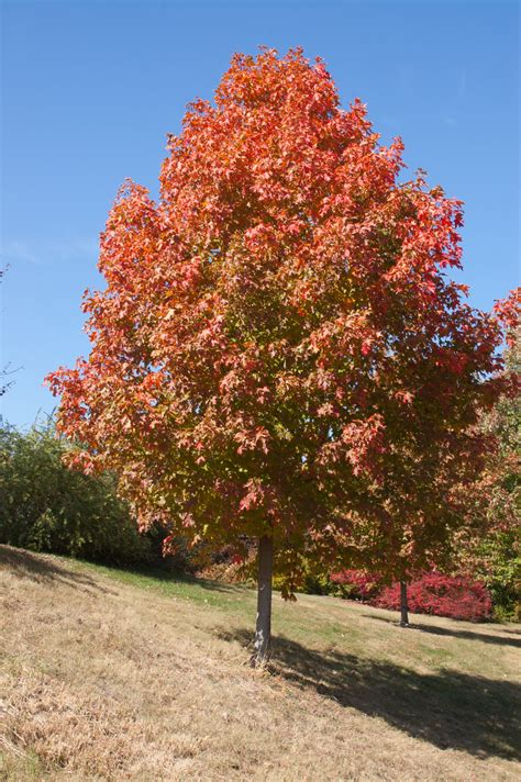 2 maple tree fall sugar maple plant library pahl s market apple valley mn
