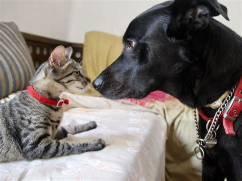 Compare Cats And Dogs Essay by Compare And Contrast Dogs Vs Cats