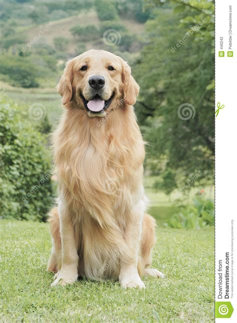 golden retriever sitting golden retriever stock photography image 440242