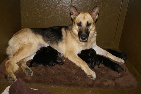 german shepherd puppies for sale in michigan german shepherd puppies for sale german shepherd breeder german shepherd breeders