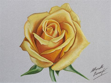 yellow rose drawing by marcello barenghi by
