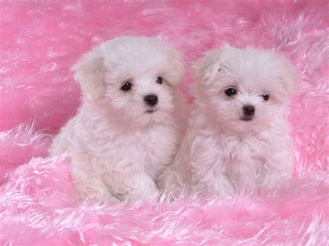 wallpaper pink dog lap top valley pink puppy wallpaper