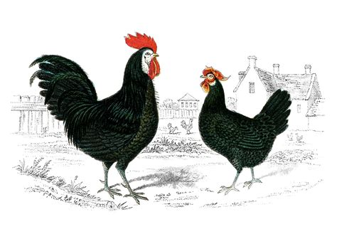 printable rooster images vintage graphics colored clip art drawings on