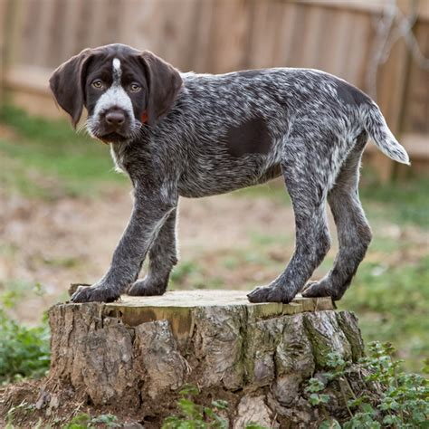 drahthaar puppies puppy gracie daily tagdaily tag
