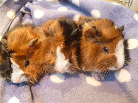 Pure bred Abyssinian baby sow guinea pigs | Sevenoaks ...