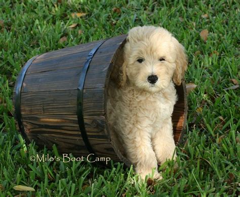 goldendoodle puppy prices 1000 ideas about golden doodle puppies on