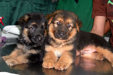 free german shepherd puppies for adoption puppies for free adoption breeds picture