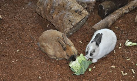 vegetables bunnies can eat can rabbits eat cabbage giving a leafy vegetable to your