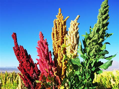 imagenes de uñas otoño 2015 fotos de la quinua quinua alimento inca