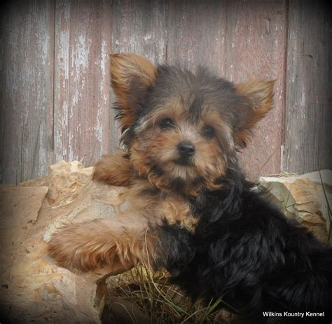 yorkie puppies for sale in mo missouri yorkie puppies for sale terrier puppy breeder mo breeds picture
