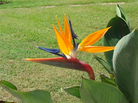 basic care for birds of paradise how to grow exotic