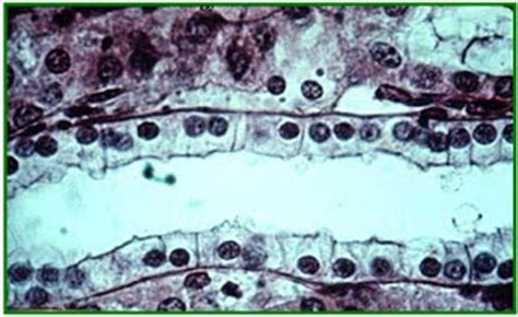 Kubus Kulit 2 jaringan epithellium