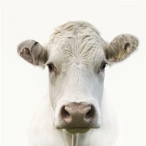 scow head 25 best ideas about cow head on pinterest cow skull art