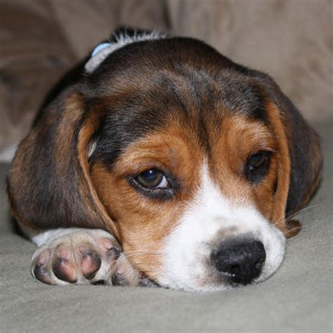 free baby puppies baby beagle puppies www pixshark images galleries with a bite