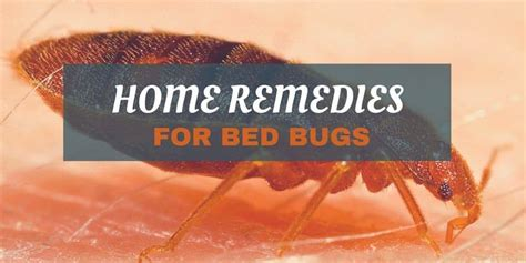 home remedies for getting rid of bed bugs home remedies