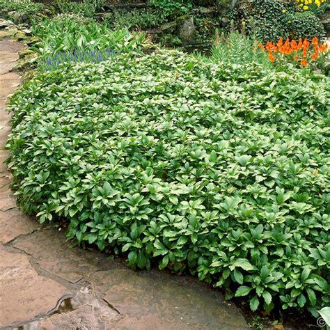 Buy A Planter pachysandra terminalis green carpet 1 shrub buy online
