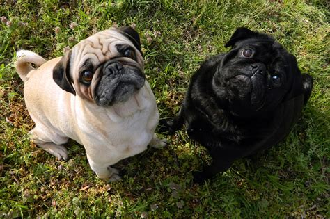 a pug file fawn pug and black pug jpg