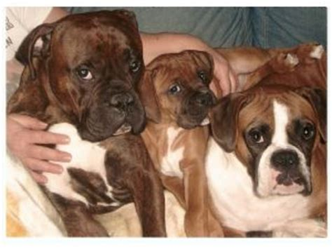 boxer puppies for sale in illinois boxer puppies in illinois